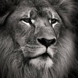 Lion by Dave Bowman