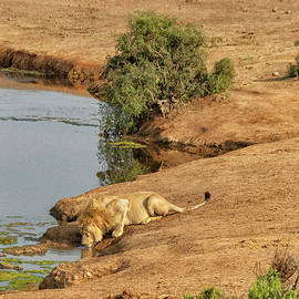 Lion drinking at watering hole by Patricia Hofmeester