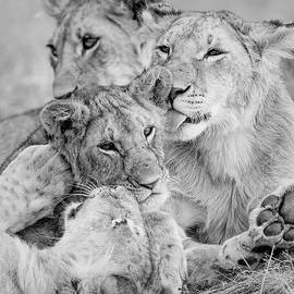 Lion love 02 by Murray Rudd