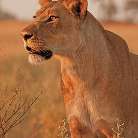 Lioness at Sunset by MaryJane Sesto