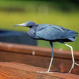 Little Blue Heron 4 by Steve Rich