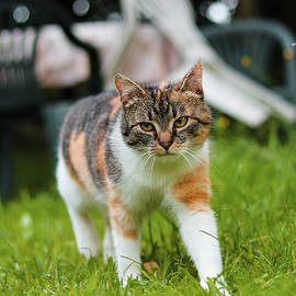 Little cat queen explores the territory looking for potential enemies. Felis catus domesticus with green eyes walks in high grass. Enjoy freedom. Mother Nature. Czech republic. Europe by Vaclav Sonnek