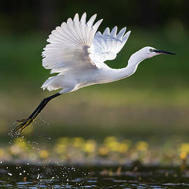 Little egret flying above the pond. by Kristian Sekulic