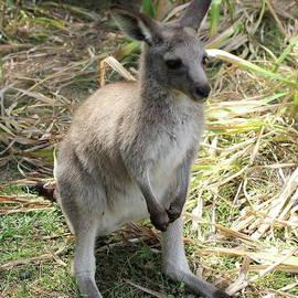 Kangaroo Baby by Atiqur Rahman