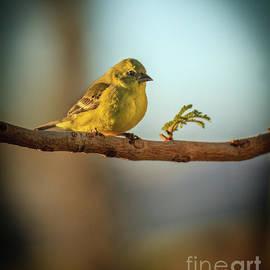 Little Goldfinch by Robert Bales
