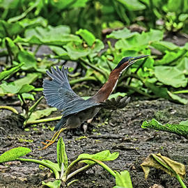 Little Green Heron by Stuart Harrison