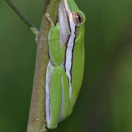 Little Green Tree Frog by April Wietrecki Green