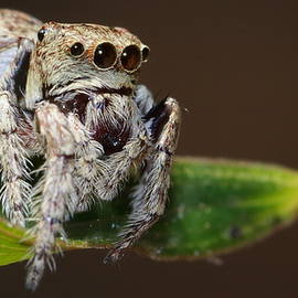Little Jumping Spider by Alon Cassidy