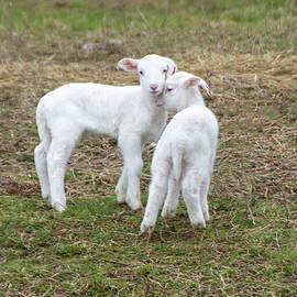 Little Lambs by Eleanor Bortnick