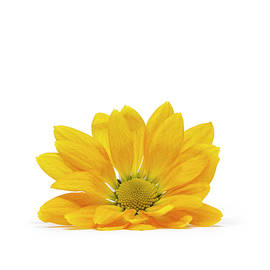 Little Yellow Daisy by Sandi Kroll