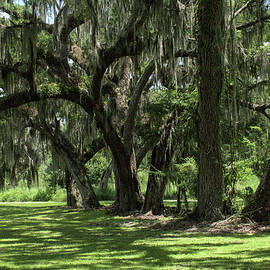 Live Oak Thicket by Chris Mercer