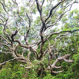 Live Oak Tree at Hoop Pole Creek-Atlantic Beach NC-Early May 2021 by Bob Decker