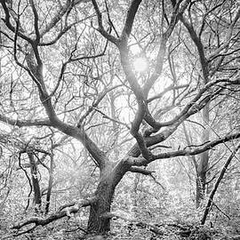 Live Oak Tree in the Forest Clearing - Atlantic Beach North Carolina by Bob Decker