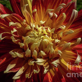 Lively Dahlia by Linda Howes