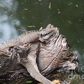 Lizard basking in the sun by Karen Moss