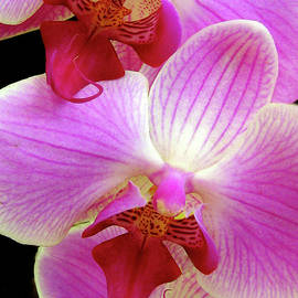 Phalaenopsis Orchid Duo by Jessica Jenney