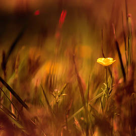 Lone Buttercup by Jim Love