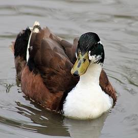 Lone Domestic Duck by Dwayne Lenker