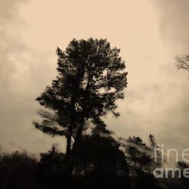Lone Pine by Renata Natale