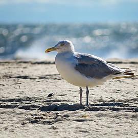 Lone Seagull by Steven Nelson