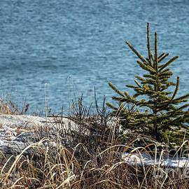 Lonesome Pine by Elizabeth Dow