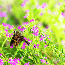 Long-tailed Skipper Sipping Heather Nectar by Kay Brewer