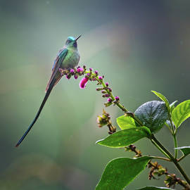 Long-Tailed Sylph Hummingbird Ecuador by Joan Carroll