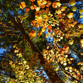 Looking Up at Autumn by Dana Hardy