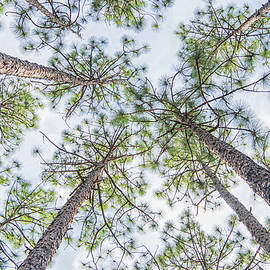 Looking Up in the Croatan National Forest by Bob Decker