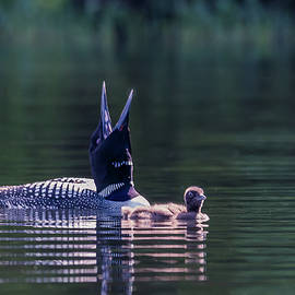 Loon Call by Debbie Gracy