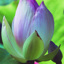 Lotus Bud by Nancy Carol Photography