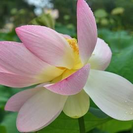 Lotus by Elena ZapasskyBaal