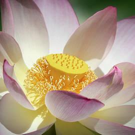 Lotus Flower Bloom by Gary Geddes