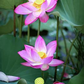 Lotus flower by Dao Nguyen Van