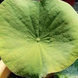 Lotus leaf by Suchi