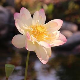 Lotus by Nieves Egelkraut