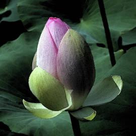 Lotus Watercolor by Carolyn Stagger Cokley