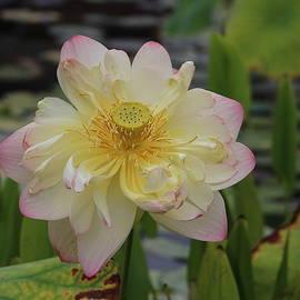 Lotus X by Nieves Egelkraut
