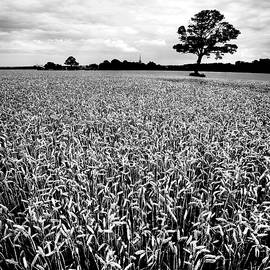 Louth Wheat Field Tree by Paul Thompson