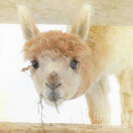 Lovable Baby Lama by Hal Halli