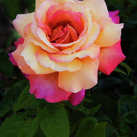 Love and Peace Rose by David Lunde