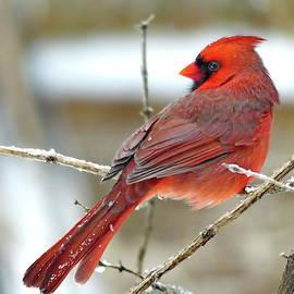Lovely Northern Cardinal Male by Lyuba Filatova