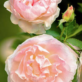 Lovely Pink Rose Garden by Janice Noto