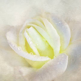 Lovely White Rose by Terry Davis