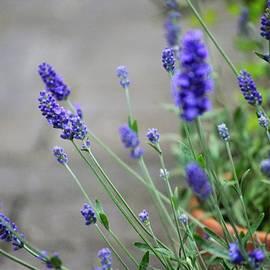 Loving Lavender by Marla McPherson