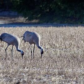 Luchdate. Eurasian crane by Jouko Lehto