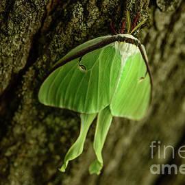 Luna Moth II by Alana Ranney