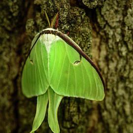 Luna Moth III by Alana Ranney