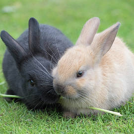Lunch Buddies     Bunny Rabbits by Nancy Jacobson