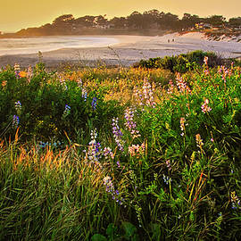 Lupine Above Carmel Beach, California by Flying Z Photography by Zayne Diamond